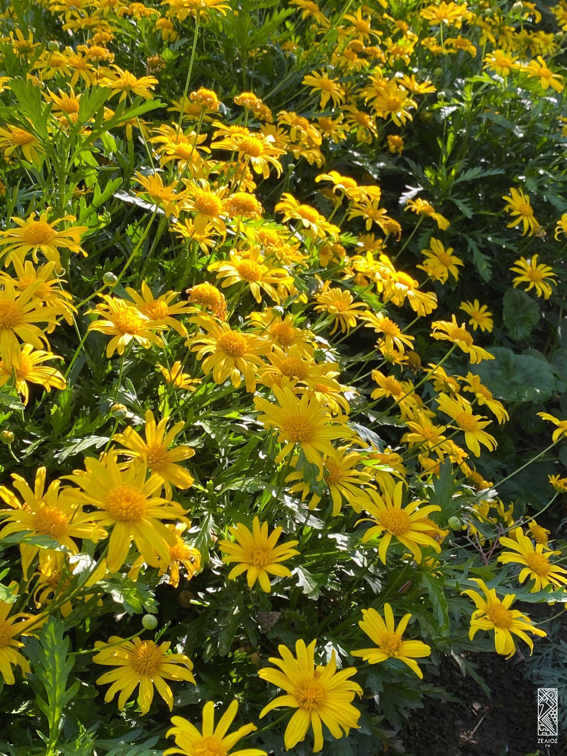 Ευρύωψ - Euryops chrysanthemoides 1
