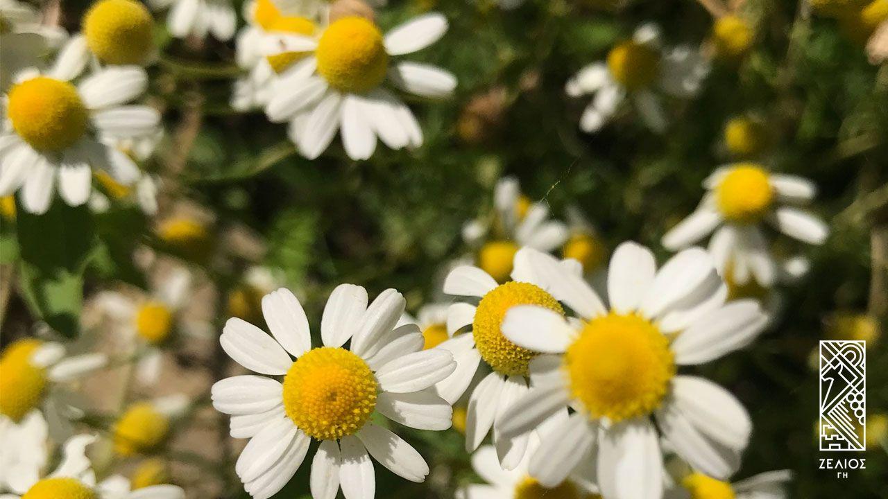 Χαμομήλι - Matricaria chamomilla 1