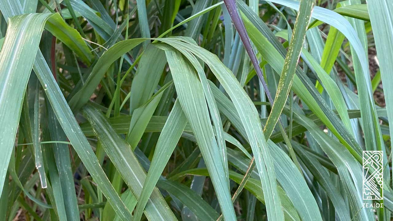Κυμβοπώγων (λεμονόχορτο) - Cymbopogon citratus 1