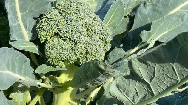 Μπρόκολο - Brassica oleracea var. italica 1
