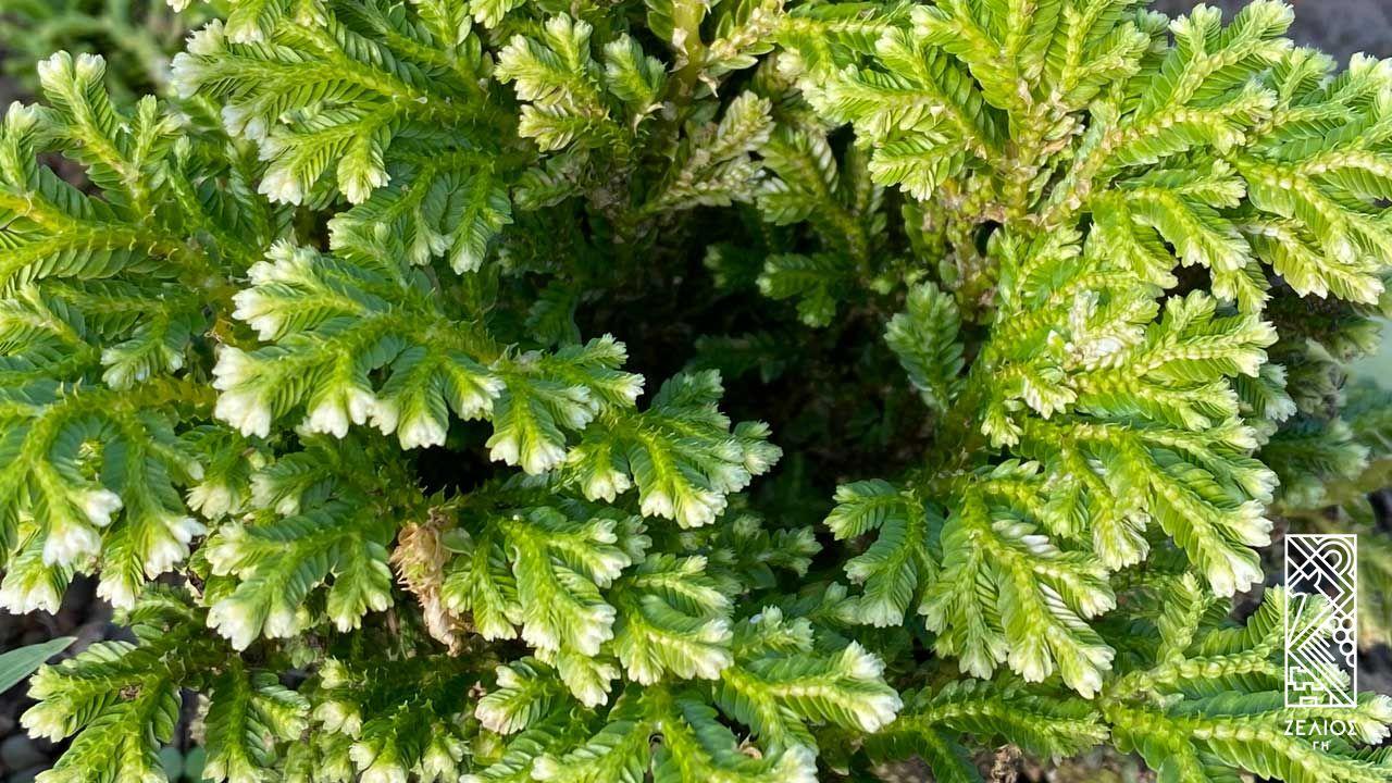 Ρόδο της Ιεριχούς - Selaginella lepidophylla 1