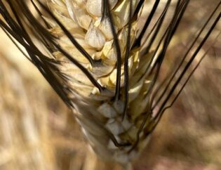 Μαυραγάνι / σιτάρι σκληρό - Triticum durum 2