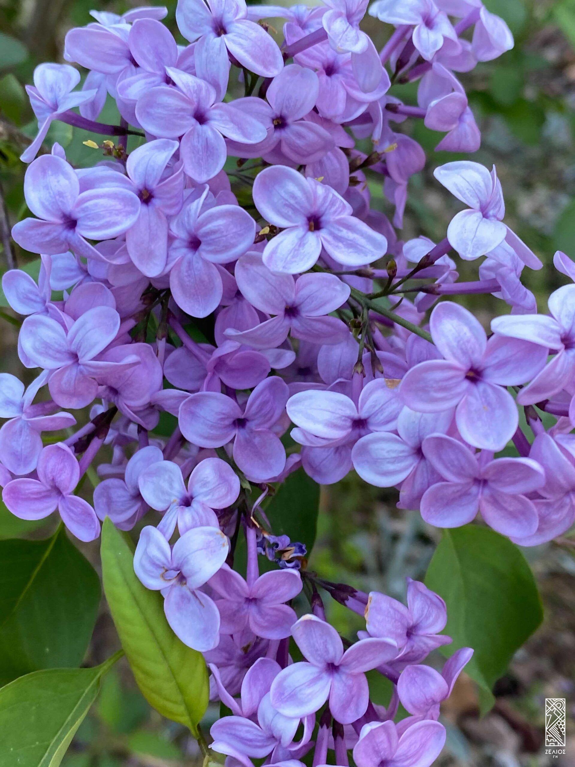 Πασχαλιά - Syringa vulgaris 1
