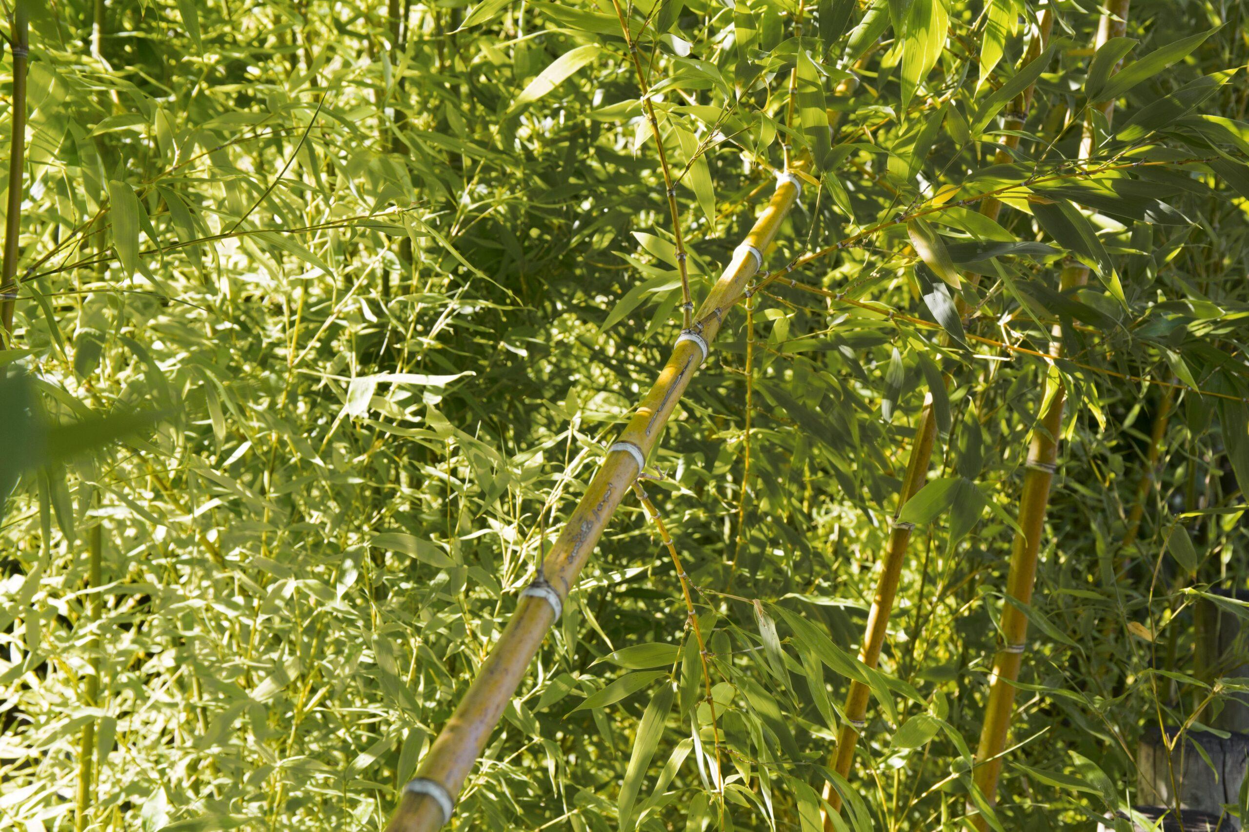 Μπαμπού - Phyllostachys aurea 1