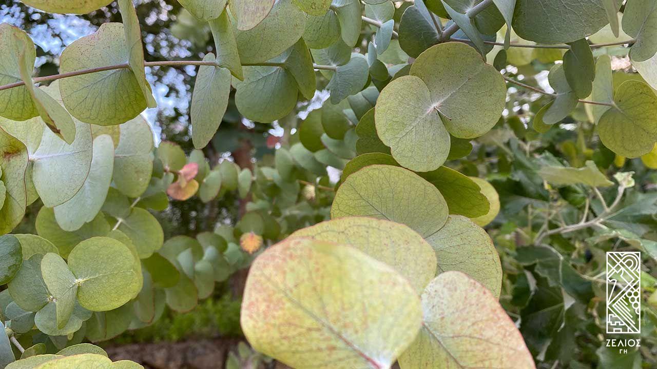 Ευκάλυπτος Γκούνι - Eucalyptus gunii 1
