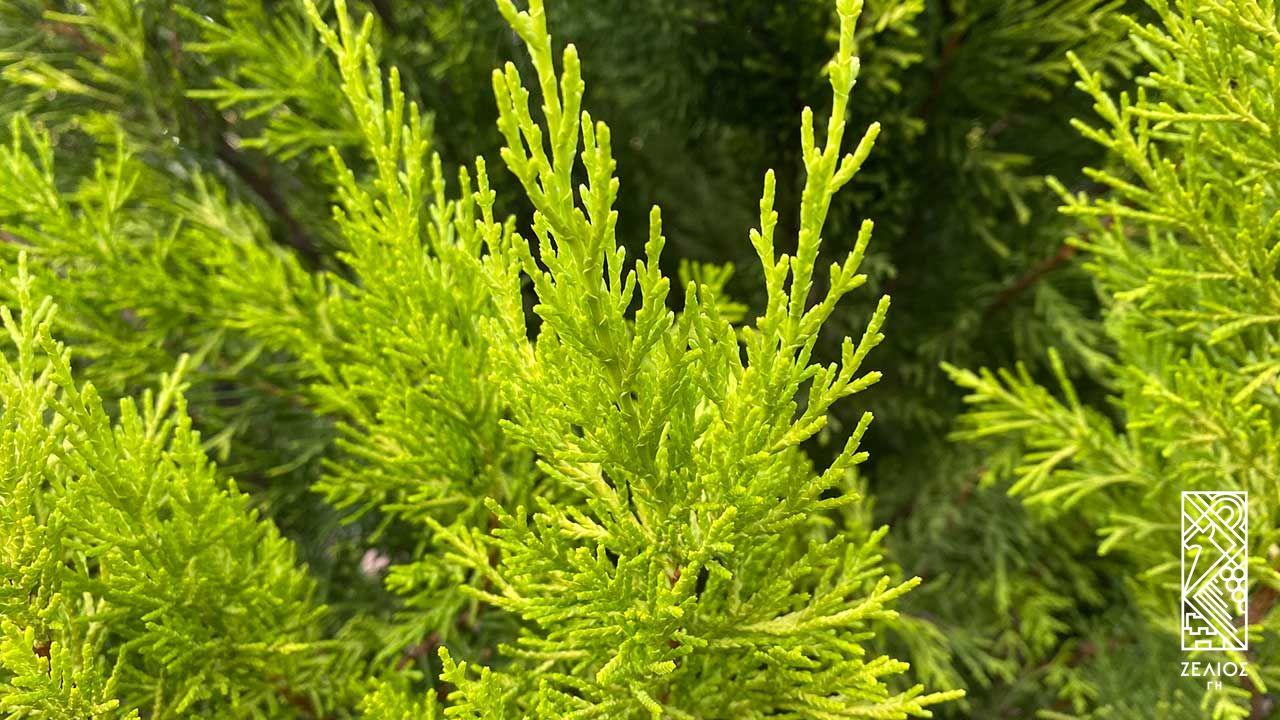 """Λεμονοκυπάρισσο /Γκολντ κρεστ - Cupressus macrocarpa """"Goldcrest"""" 1"""