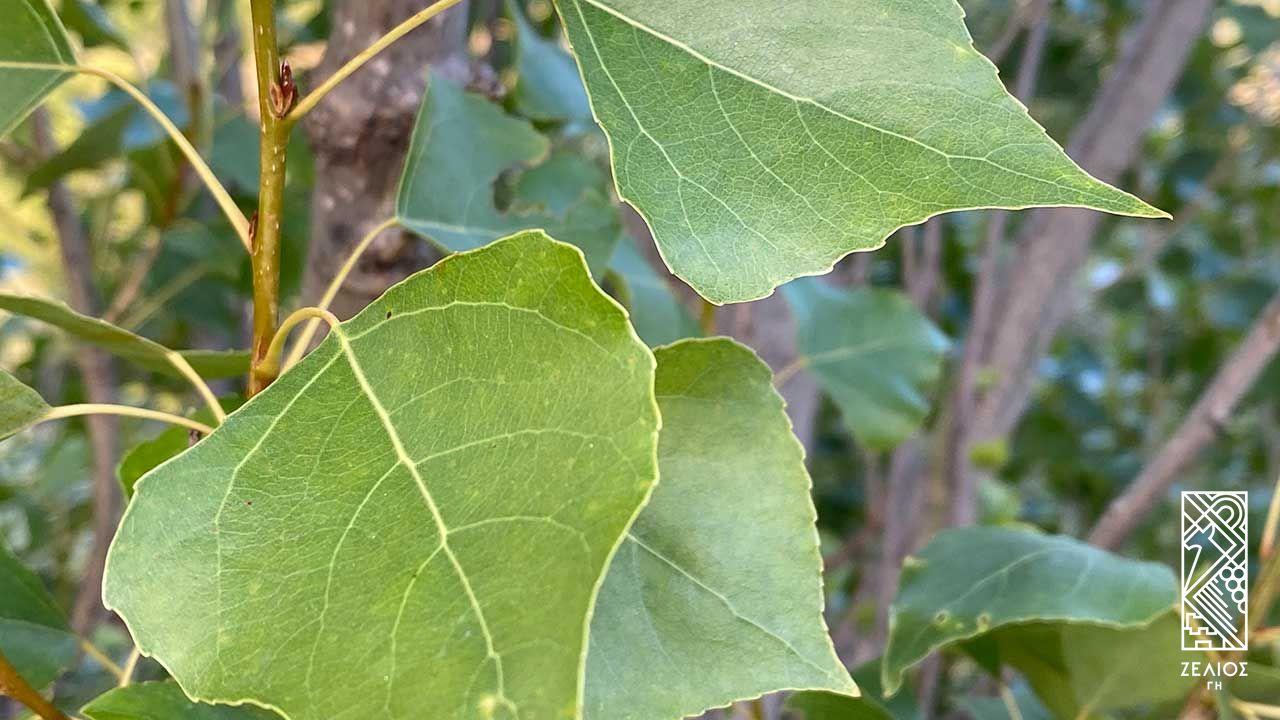 Λεύκα (καβάκι) - Populus nigra 1