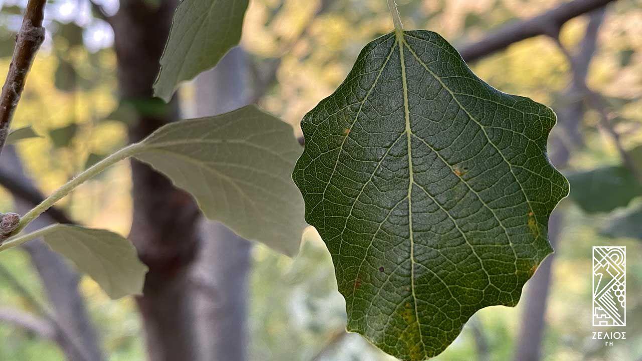 Λεύκη η λευκή (λεύκα) - Populus alba 1