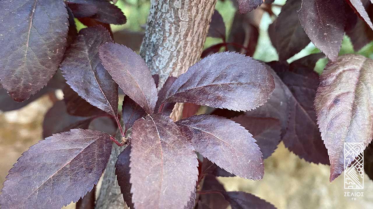 Προύνος - Prunus cerasifera var. pissardi nigra 1
