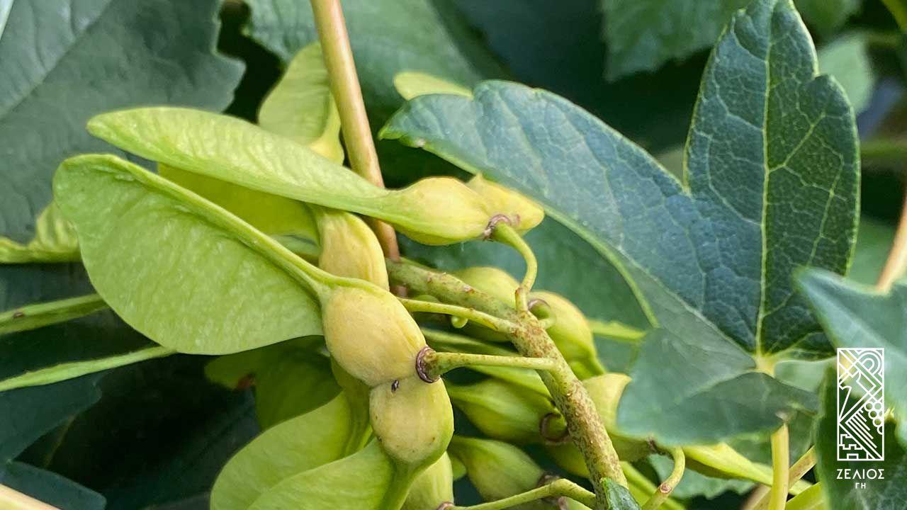 Σφένδαμος ο ψευδοπλάτανος - Acer pseudoplatanus 1