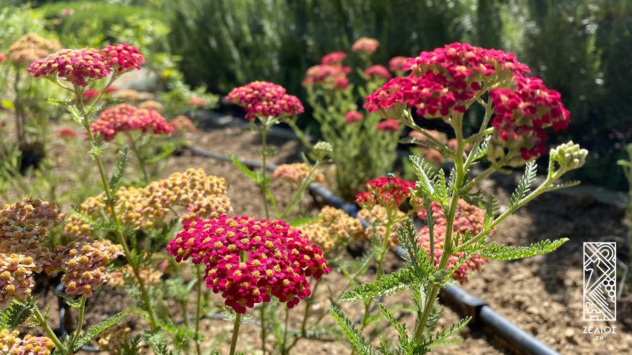 Αχιλλέα (αγριαψιθιά) - Achillea millefolium 1