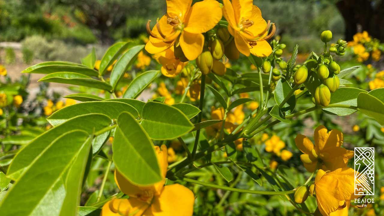 Κάσσια - Cassia Floribunda 1