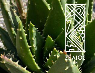 Αλόη βραχύφυλλη - Aloe brevifolia 1