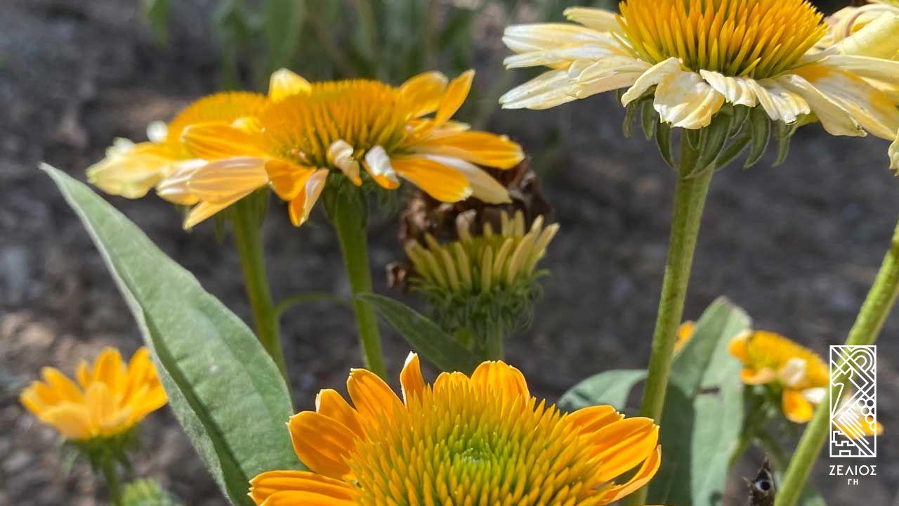 Εχινάκεια κίτρινη - Echinacea paradoxa 1