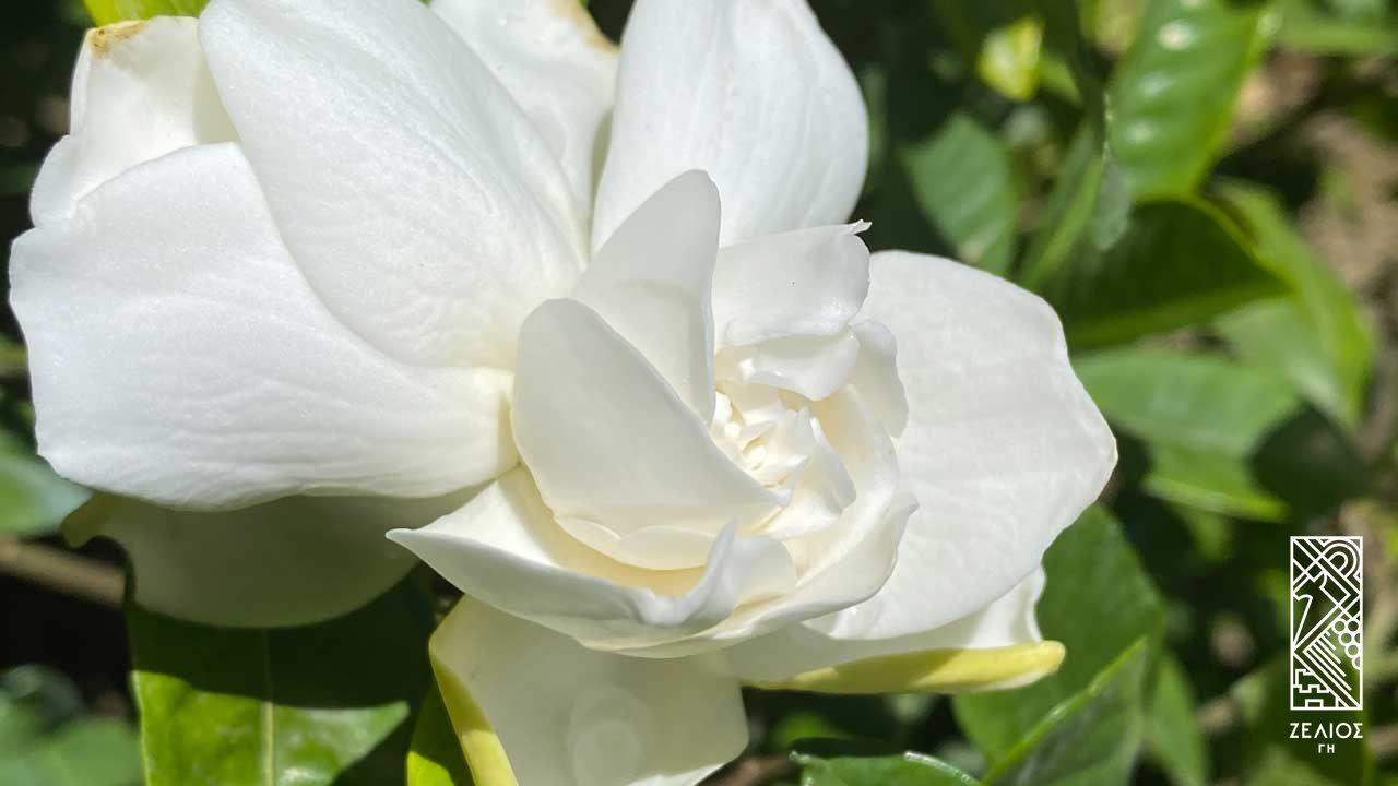 Γαρδένια - Gardenia jasminoides 1