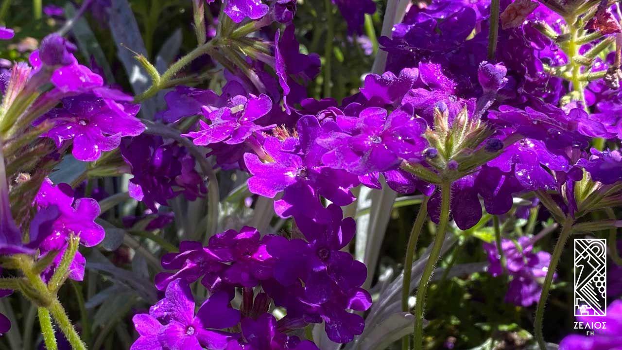 Γκλαντουλάρια - Glandularia tenera 1