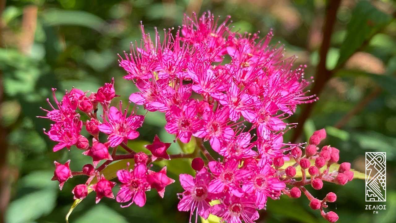Σπειραία ιαπωνική - Spiraea japonica 1