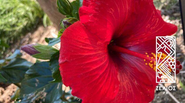 Ιβίσκος - Hibiscus 1