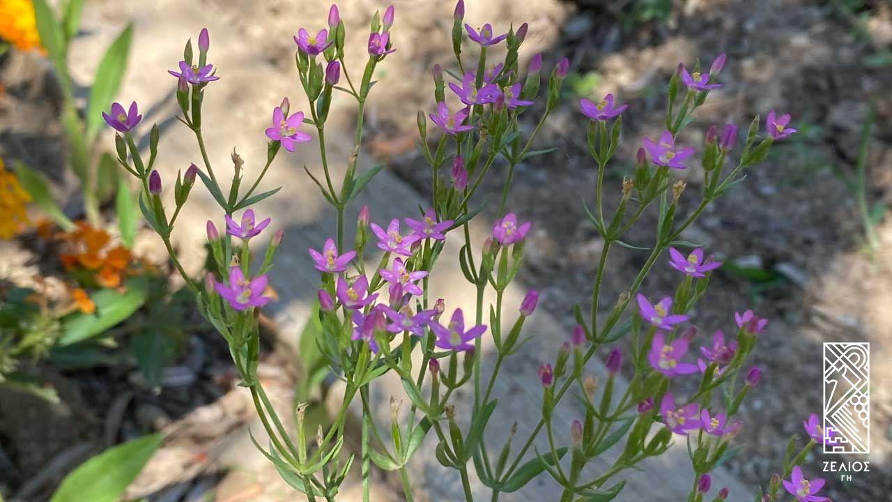 Κενταύριο η ερυθραία - Centaurium erythraea 1