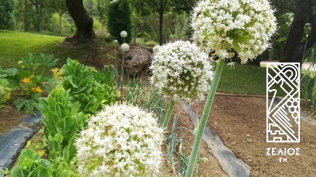 Κρεμμύδι - Allium sepa 3