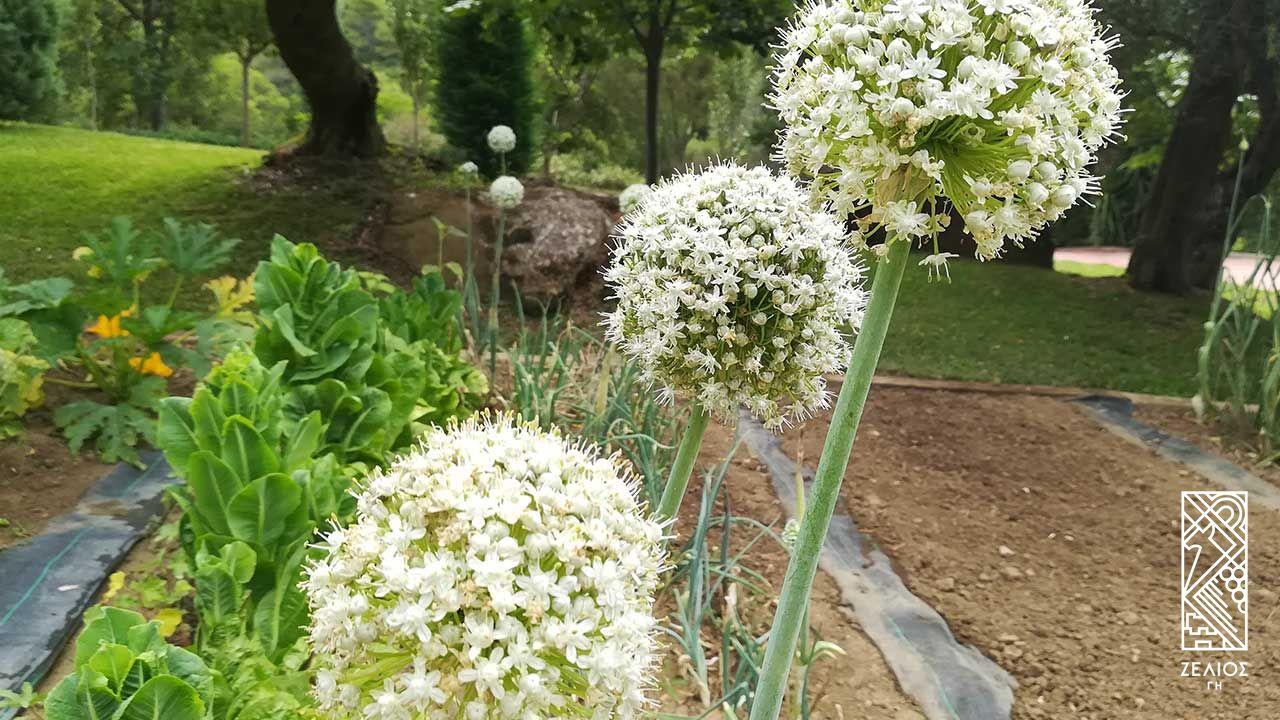 Κρεμμύδι - Allium sepa 1