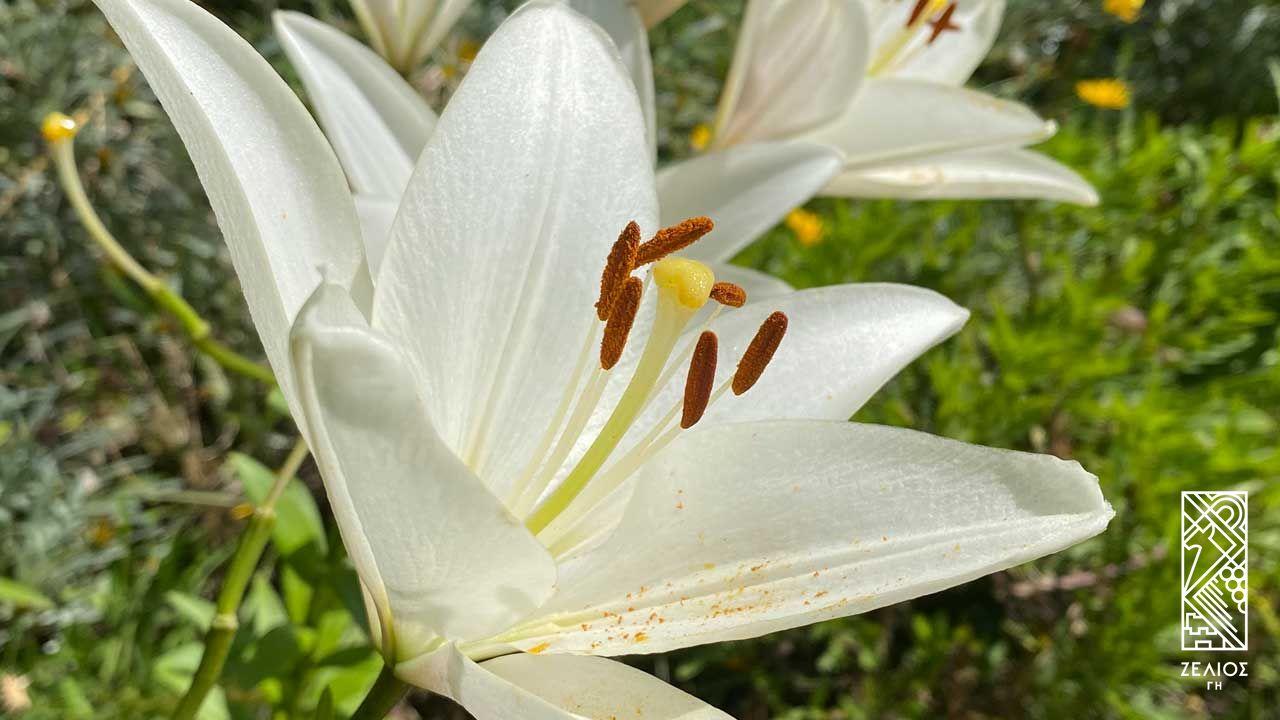 Λείριον το πάλλευκο (κρίνο της Παναγίας) - Lilium candidum 1