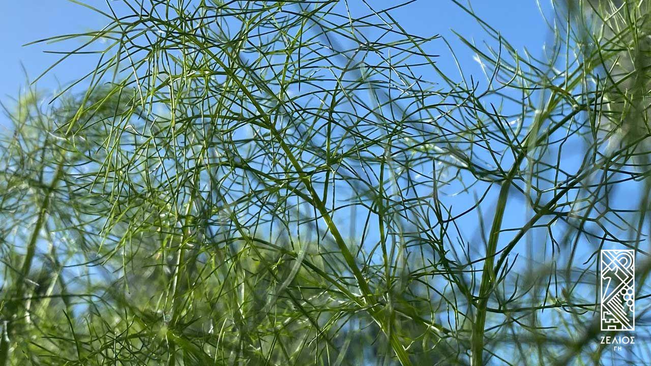 Μάραθος - Foeniculum vulgare 1
