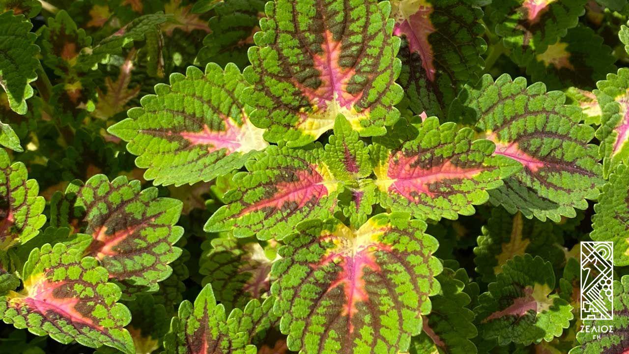 Ωραίο φύλλο - Plectranthus scutellarioides 1