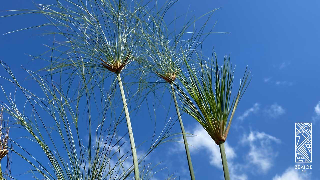 Πάπυρος - Cyperus papyrus 1