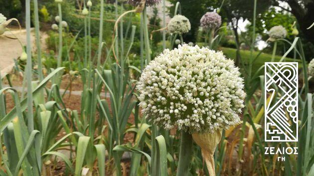 Πράσο - Allium porrum 2