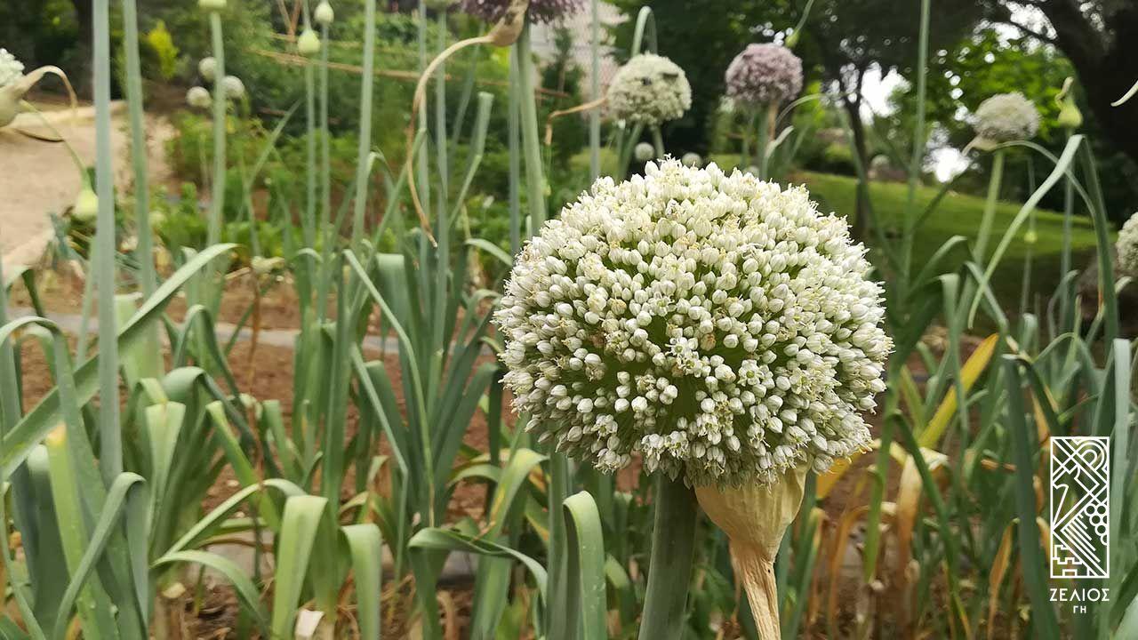 Πράσο - Allium porrum 1