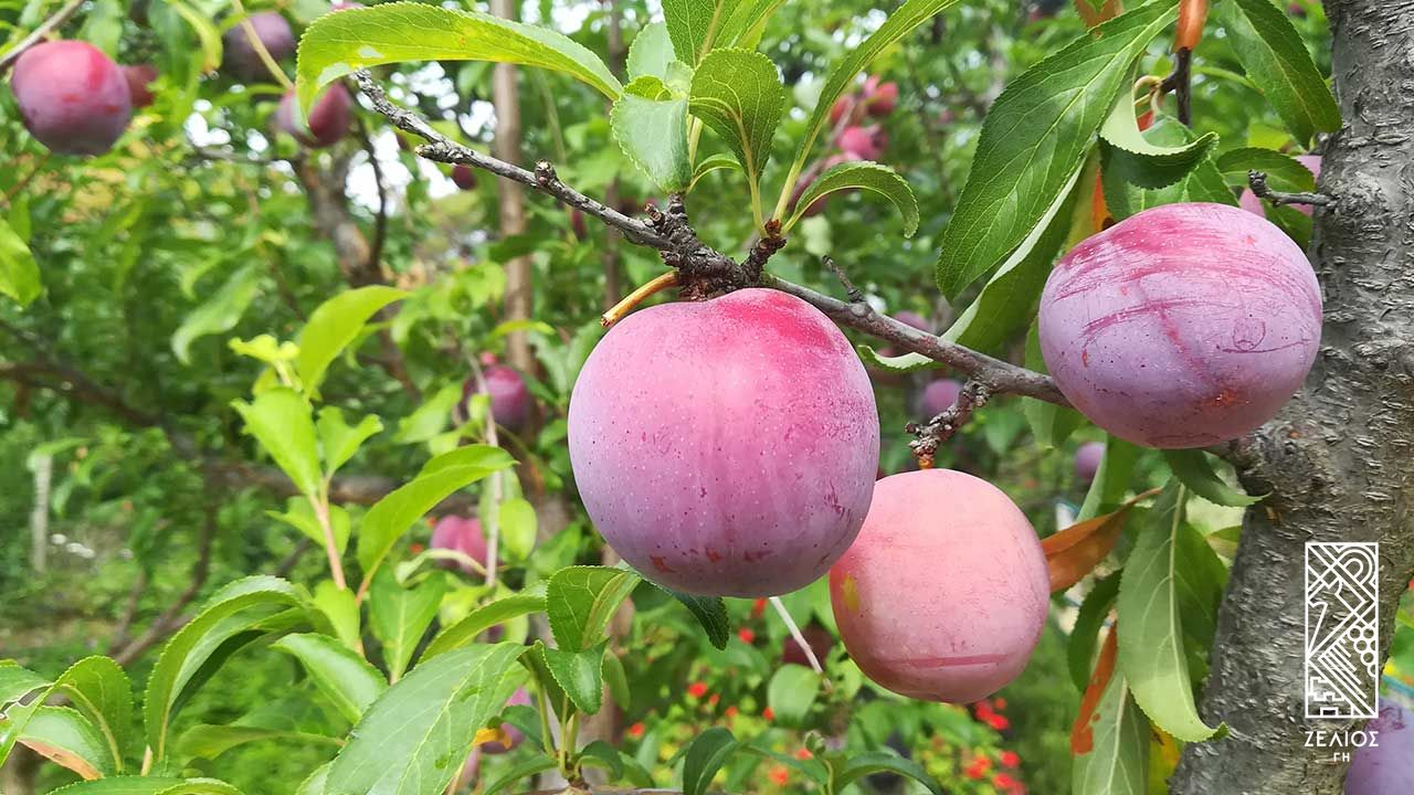 Δαμασκηνιά - Prunus domestica 1
