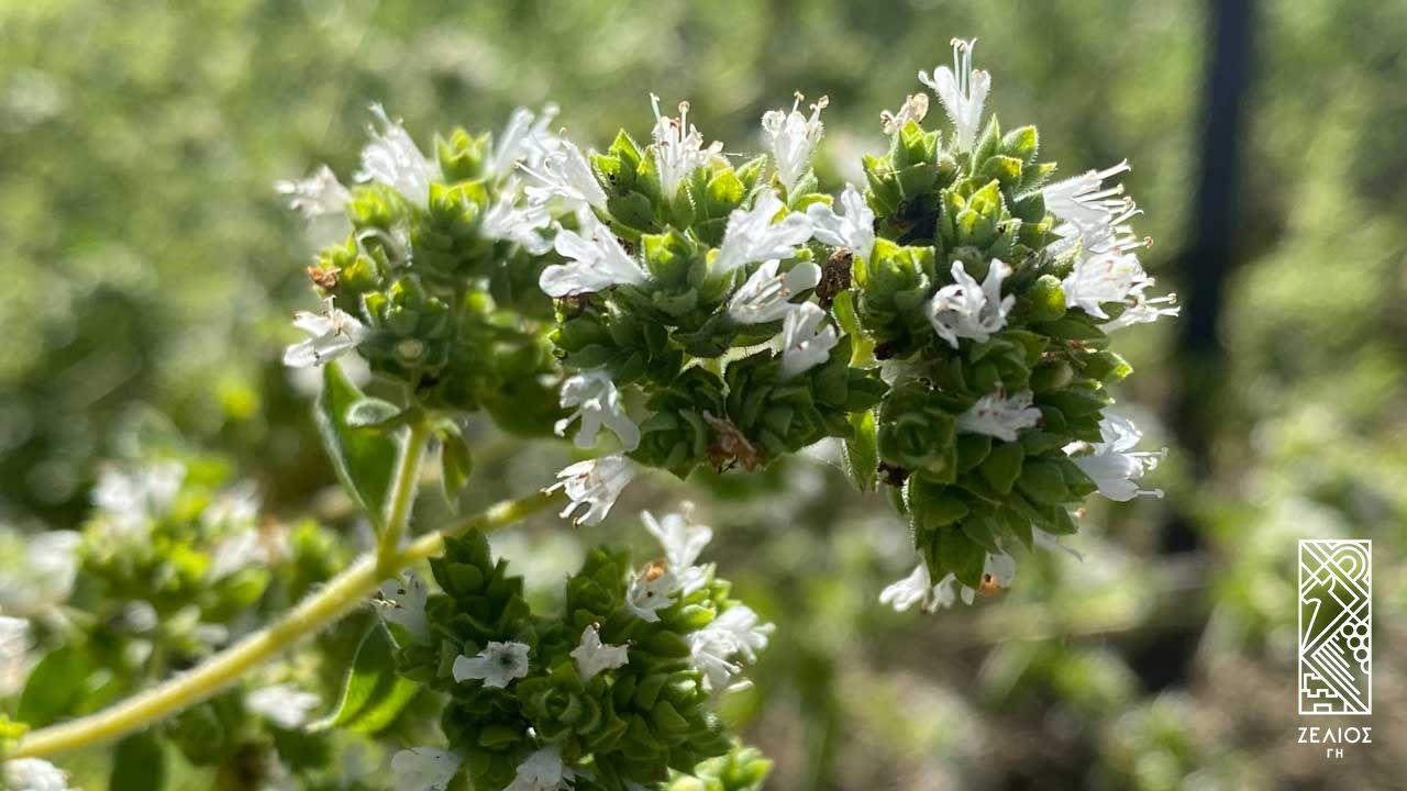 Ρίγανη - Origanum vulgare 1