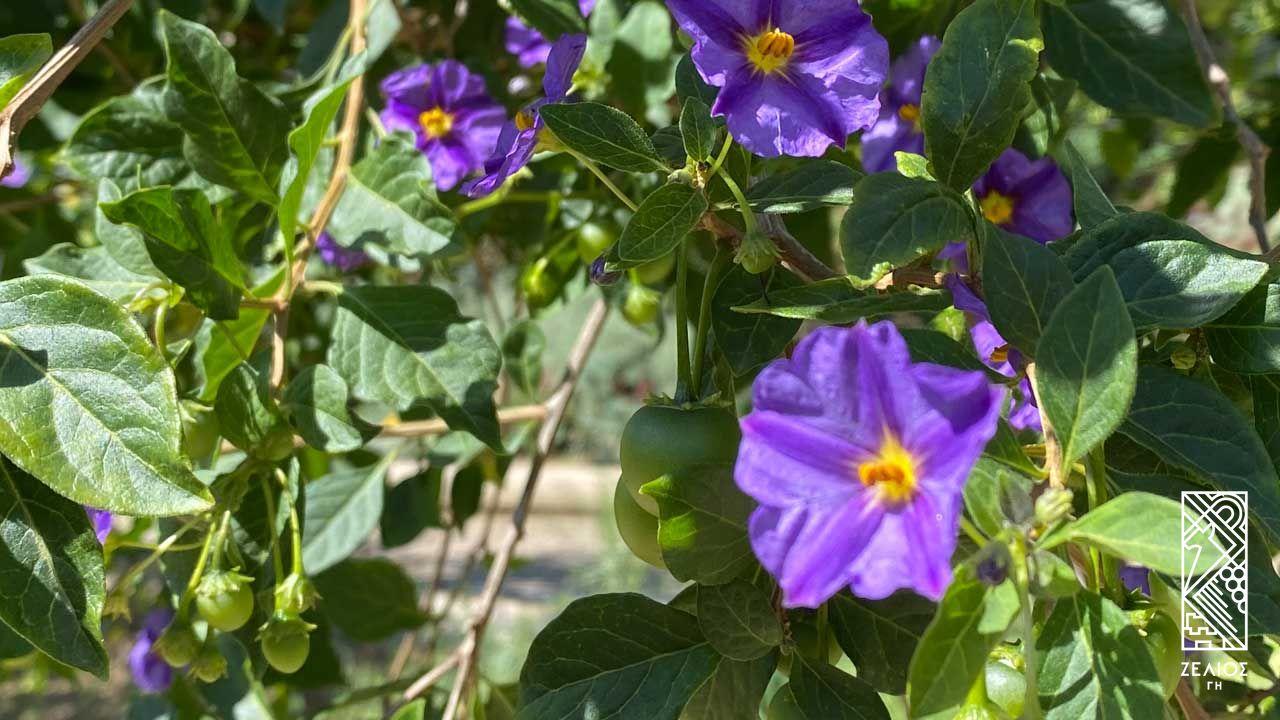 Σολάνουμ (σολάνο) - Solanum laciniatum 1