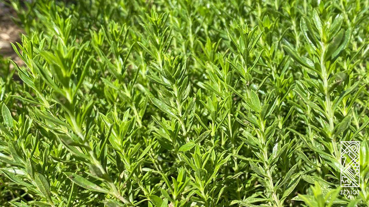 Θρούμπι καλοκαιρινό - Satureja hortensis 1