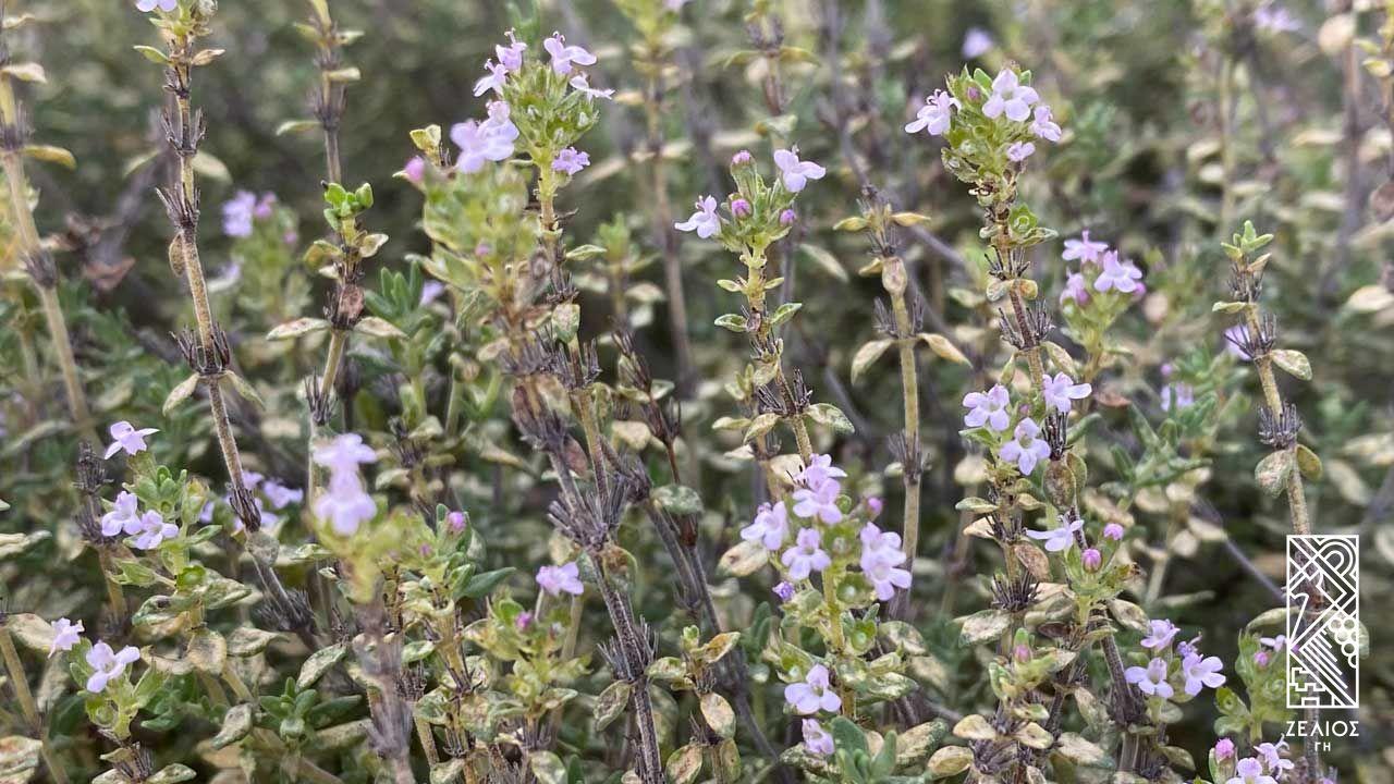 Θυμάρι - Thymus vulgaris 1