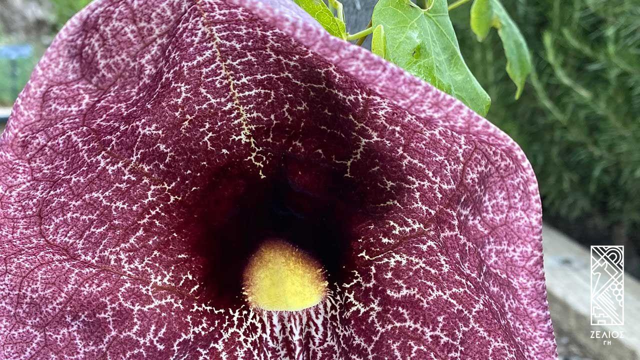 Αριστολοχία - Aristolochia gigantea 1