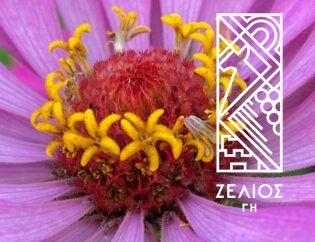 Ζίννια - Zinnia elegans 3