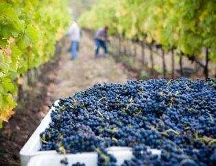 Από το αμπέλι… στο κρασί 4