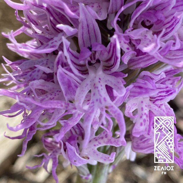 Ορχιδέα ιταλική - Orchis italica 1